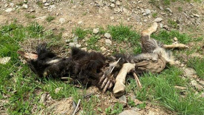 UP demana el suport d'Agricultura als ramaders afectats pels atacs d'os