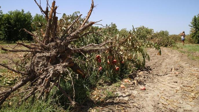 Sis-cents fructicultors volen arrancar gairebé 1.400 ha amb ajuts públics