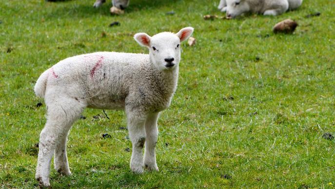 Les vendes de carn d'oví cauen més d'un 90% pel coronavirus