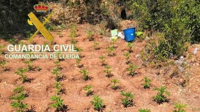 Detingut per cultivar 2.400 plantes de marihuana a Os de Balaguer