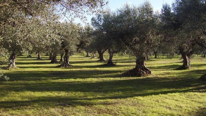La 'pesta' de l'olivera arriba a Madrid i alarma el sector