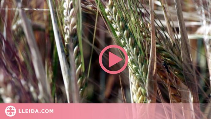 """Unió de Pagesos no preveu """"una gran campanya"""" del cereal per la falta de pluges"""