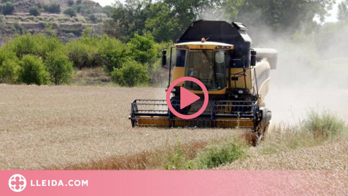"""Els pagesos finalitzen una """"bona collita"""" del cereal gràcies a les temperatures de maig i juny"""