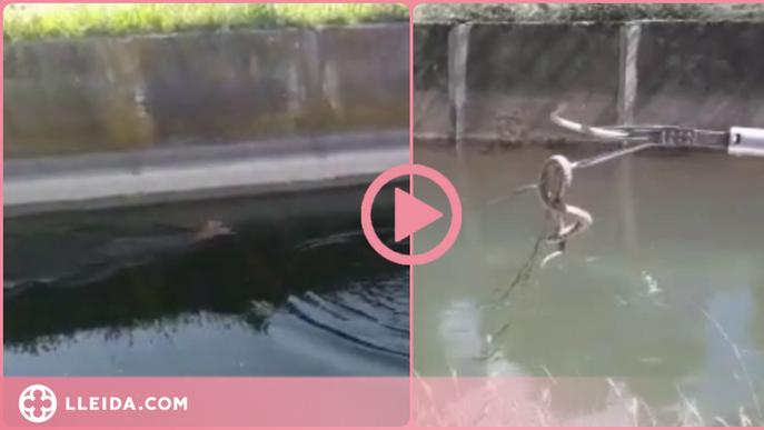 ⏯️ Així és com els regants del Canal d'Urgell volen evitar més ofegaments de fauna salvatge