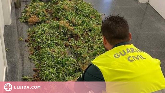 Localitzen una plantació amb 5.700 plantes de marihuana a la Noguera