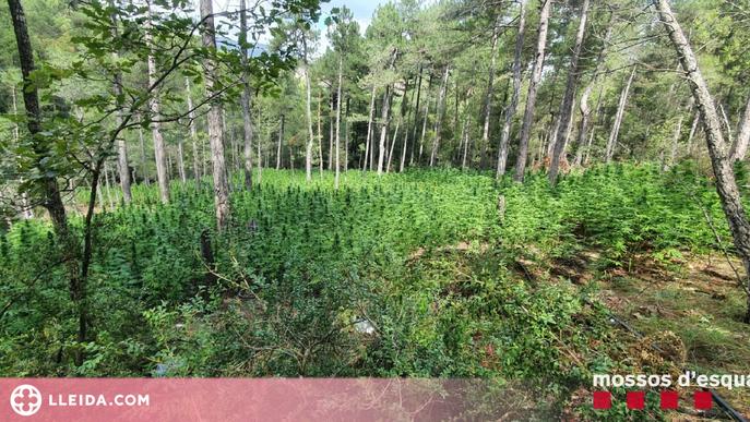 Desmantellen una plantació d'unes 2.000 plantes de marihuana a l'Alt Urgell