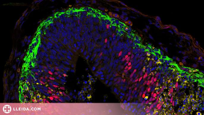 Identificat un element clau en la divisió de les cèl·lules mare i el desenvolupament embrionari