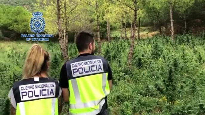 ⏯️ Desmantellada una plantació de marihuana a la Noguera Ribagorçana i el seu centre d'operacions a Lleida