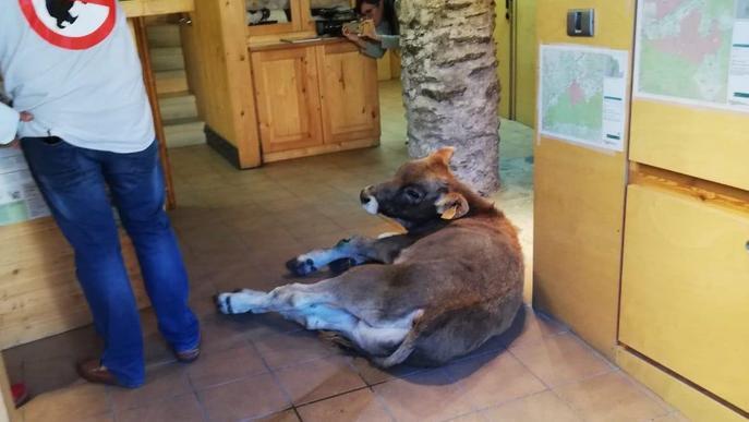 Deixen un vedell ferit a l'oficina del Parc Natural a Llavorsí en protesta pels atacs dels óssos
