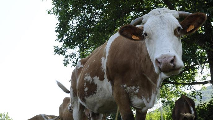 Noves conclusions per a les pastures i l'acumulació del carboni