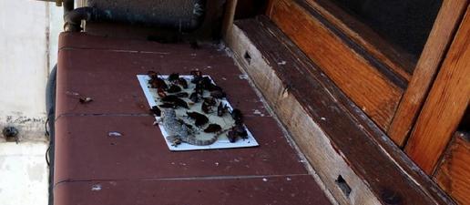 Una plaga de paneroles envaeix un tram de República del Paraguai