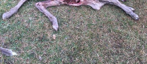 Un voltor mata un poltre a Soriguera