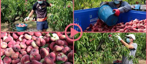 ⏯️ Arrenca la recollida del préssec i la nectarina al Baix Segrià
