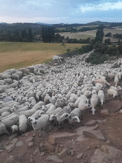 Unes 2.500 ovelles baixen de Castanesa a Alcarràs