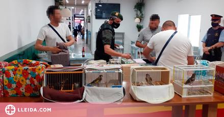 Intervenen 78 ocells fringíl·lids en un bar del Pla d'Urgell